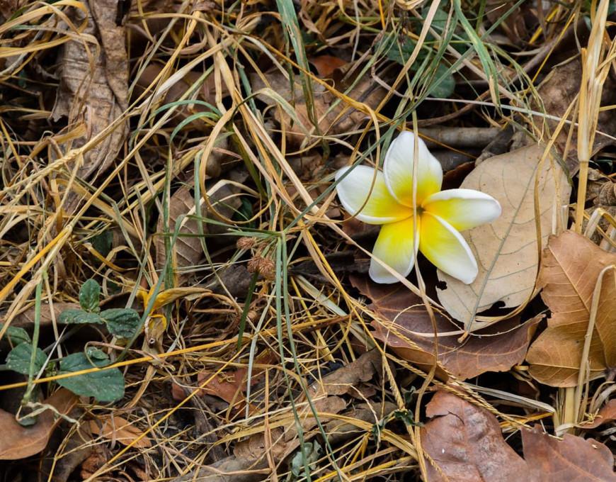 La fleur de tiaré, symbole tahitien par excellence