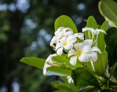 Tout savoir sur la récolte de la fleur de Tiaré